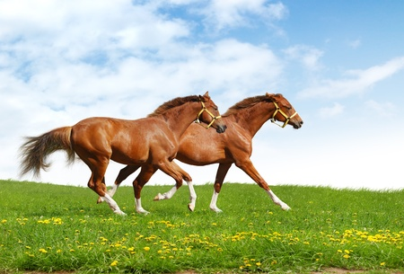 racehorses: two foals gallop - realistic photomontage