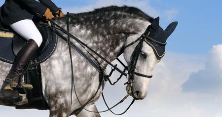 dapple grey: Dressage: head of dapple-grey horse