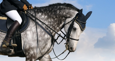 Dressage: head of dapple-grey horse
