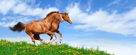 trakehner: Two trakehner sorrel stallions gallop in field