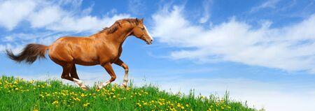 trakehner: Trakehner sorrel stallion gallops in field Stock Photo