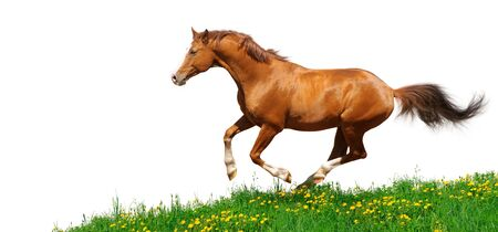 Trakehner stallion gallops in field - isolated on white