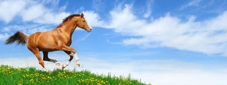 Trakehner stallion gallops in field -  Stock Photo - 9912975