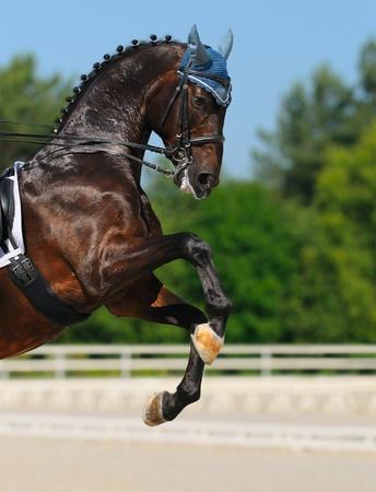 Dressage: bay Hanoverian horse rear photo