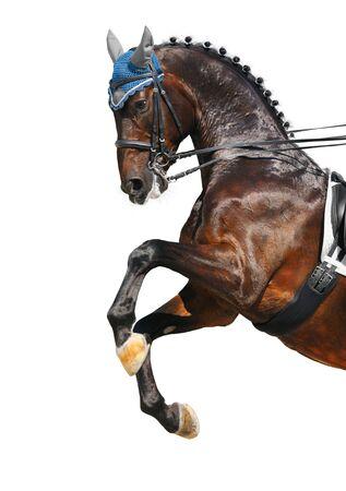Dressage: bay Hanoverian horse rear