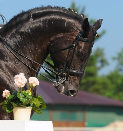 Dressage: portrait of black horse on nature background Stock Photo - 9912982