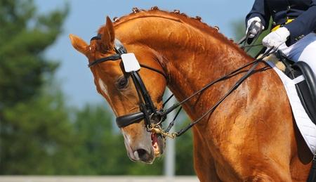 Dressage: portrait of sorrel horse on nature background Banque d'images