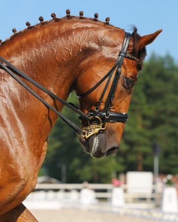 Dressur: Porträt von Sauerampfer Pferd auf Natur Hintergrund Standard-Bild