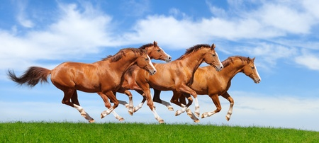 Four trakehner sorrel stallions gallop in field