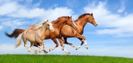 Three stallions gallop in field 스톡 콘텐츠