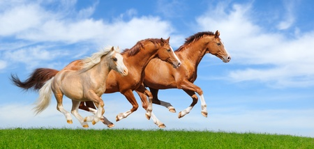 Three stallions gallop in field Banque d'images