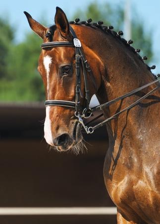Dressage: portrait of bay horse on nature background photo