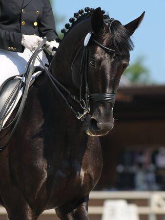 Dressage: portrait of black horse on nature background Stock Photo