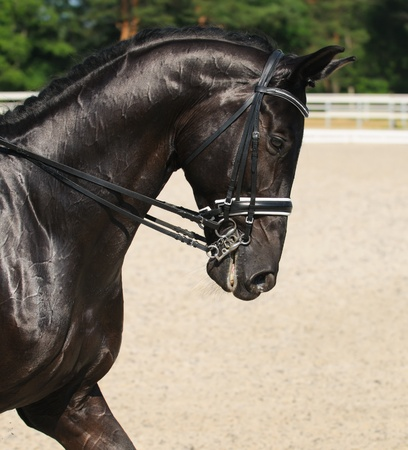 Dressage: portrait of black horse on nature background 스톡 콘텐츠