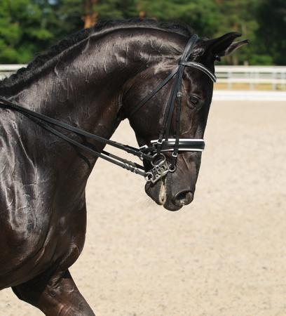 Dressage: portrait of black horse on nature background Banque d'images