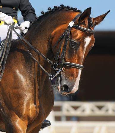 Dressage : portrait de cheval baie sur fond de nature Banque d'images