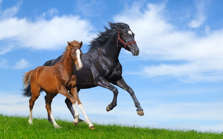 halter: Black mare and sorrel foal gallop on field