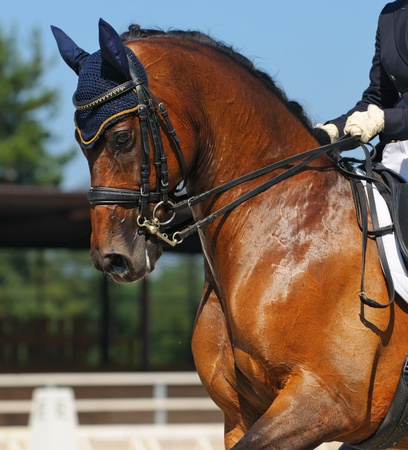 Dressage: portrait of bay horse on nature background Banque d'images