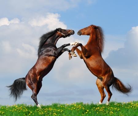 Battle of horses on green field photo