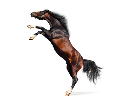 arabian horse rears - isolated on white Banque d'images