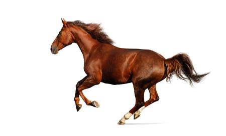 merrie: budenny paard galoppeert - op wit wordt geïsoleerd