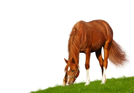 sorrel foal - isolated on white