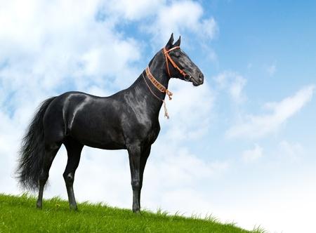 photomontage: black akhal-teke stallion - realistic photomontage