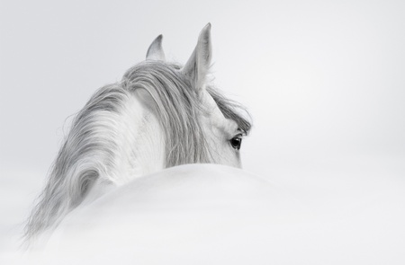Gray Andalusian horse in a mist photo