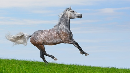 Dapple-gray arabian galloping horse in field photo