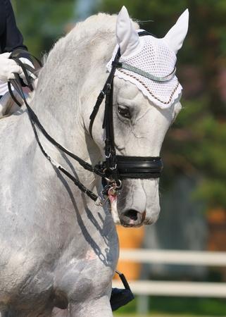 Dressage: portrait of gray horse on nature background photo