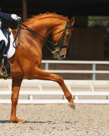 Dressage: portrait of sorrel horse on nature background 스톡 콘텐츠