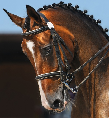 Dressage: portrait of bay horse on nature background Stock Photo