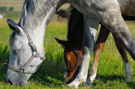 dapple horse: Dapple-grey mare and bay foal in field  Stock Photo