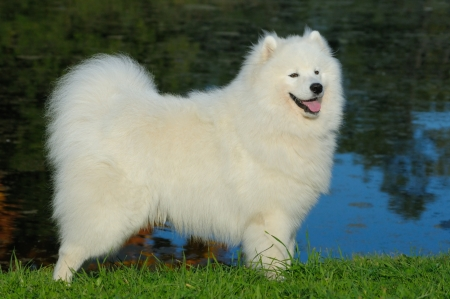 Samoyed dog by the lake
