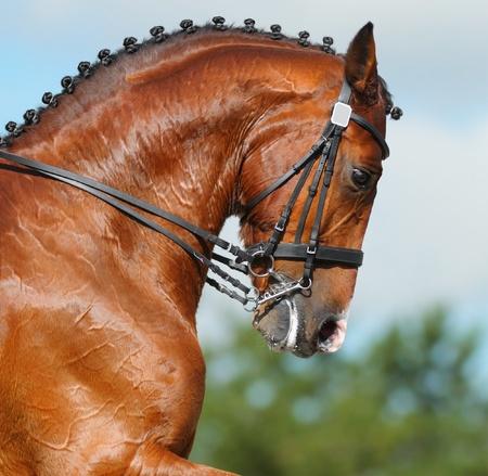 Dressage: head of bay stallion - nature background photo
