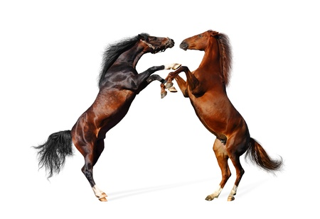 animal fight: battle horses - isolated on white