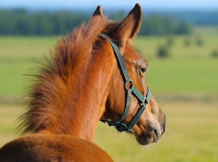 trakehner: Chestnut trakehner foal in field