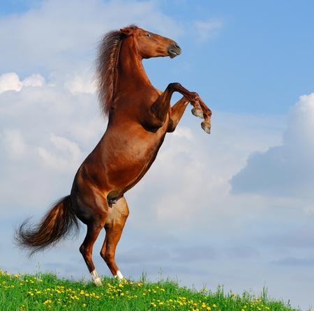 Sorrel horse rear on a hill Stock Photo