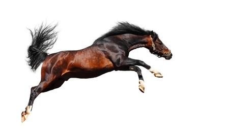 springpaard: Arabian Horse springt - op wit wordt geïsoleerd