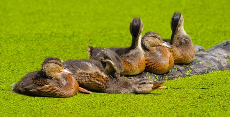 the duckling in green morass photo