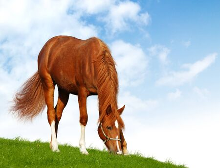 photomontage: sorrel foal - realistic photomontage