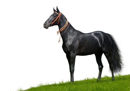 black akhal-teke stallion - isolated on white