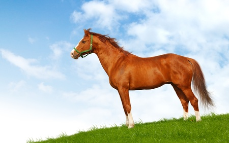 Sorrel stallion in field