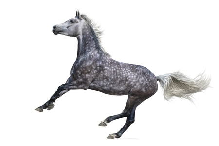 Dapple-gray arabian galloping horse - isolated on white