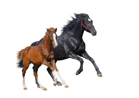 Black mare and sorrel foal gallop - isolated on white 스톡 콘텐츠
