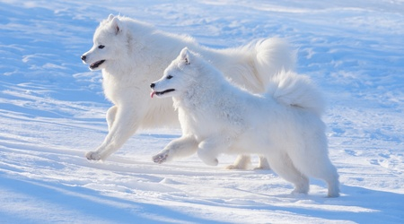 Two Samoyed dogs play on blue background
