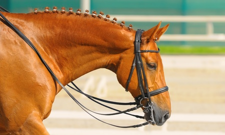 Equestrian sport - dressage / head of sorrel horse