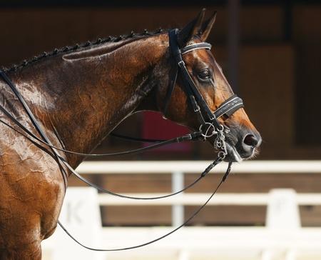 caballo: Deporte ecuestre - Doma  cabeza de caballo Bahía Foto de archivo