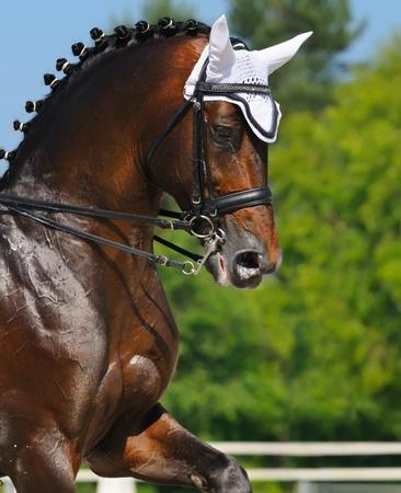 Equestrian sport - dressage  head of bay horse photo