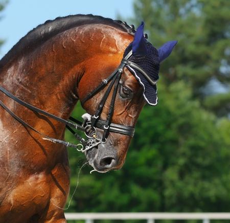 Reitsport - Dressur  Leiter der Bucht Pferd Standard-Bild